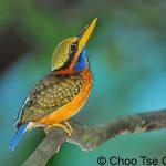RufousCollared Kingfisher(Female2)