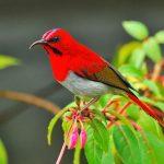 TemmincksSunbird
