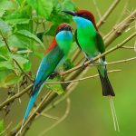 blue throated bee eater2