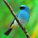 indigo flycatcher1